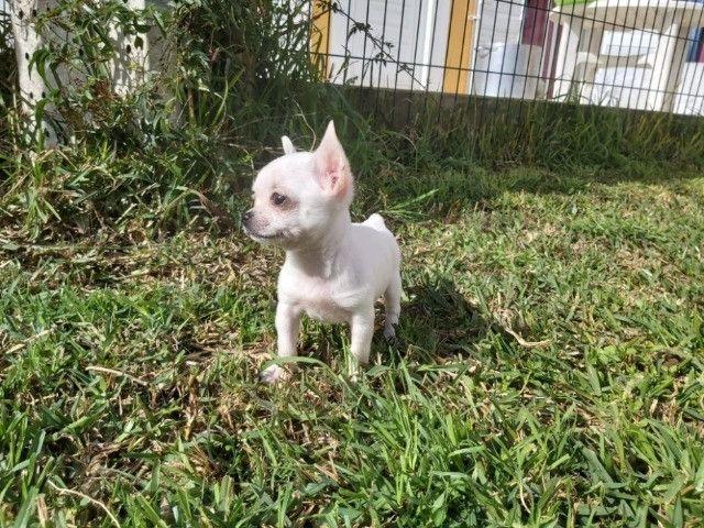 Chihuahua Lindos filhotes, á pronta entrega, garantia total de saúde em contrato - Foto 2