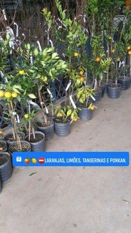 Mudas Frutíferas-(Produzindo ou mudas)  - Foto 4