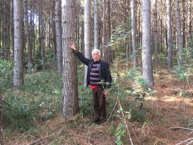 Floresta de Pinus - Foto 4