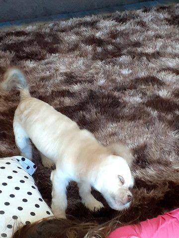 Vendo filhote de cachorro - Foto 6