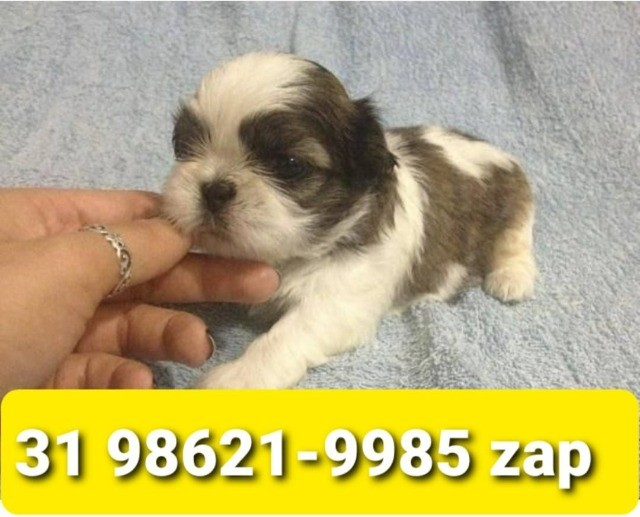 Canil Maravilhosos Filhotes Cães BH Shihtzu Maltês Yorkshire Poodle Lhasa
