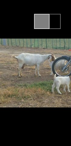 Cabras boê 81- * zap - Foto 3