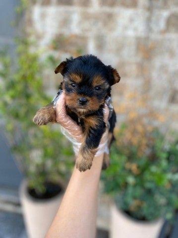 Filhotes de Yorkshire, com suporte veterinário 24 hrs gratuito, info na descrição