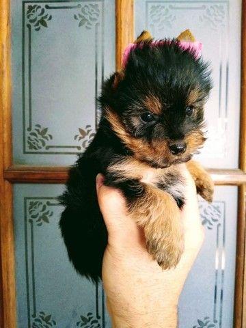 Pronta Entrega de Yorkshire Terrier Fêmea