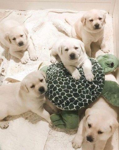 Filhotes de Labrador fofíssimos - Foto 2