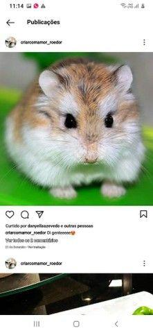 Lindos filhotes de  Anao Russo (Hamster) criação responsável ! - Foto 5