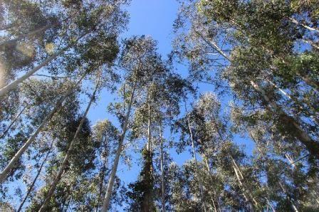 Floresta de Eucaliptos - 6 alqueires com 8 anos - 42 km de Curitiba - Aceito carro/imóvel