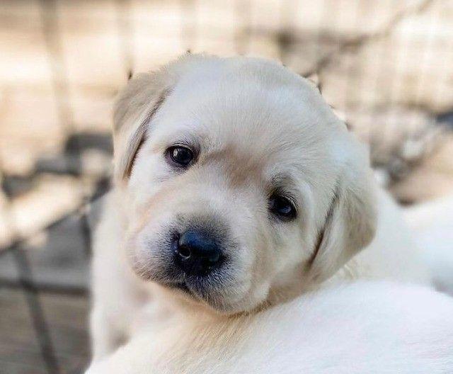 Filhotes de Labrador fofíssimos