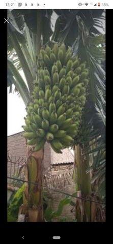 Mudas de banana prata 20,00 - Foto 3