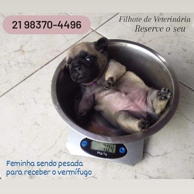 Pug - Filhotes de Veterinária - Foto 6