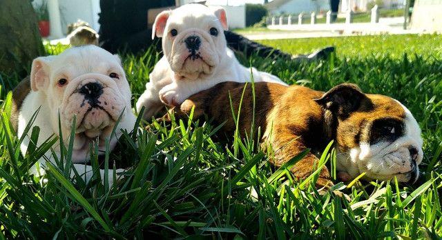 Bulldog inglês pirata/tigrado/fulvo/branco - Foto 3