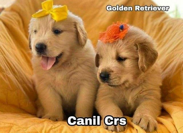 Golden Retriever com pedigree e microchip em até 12×