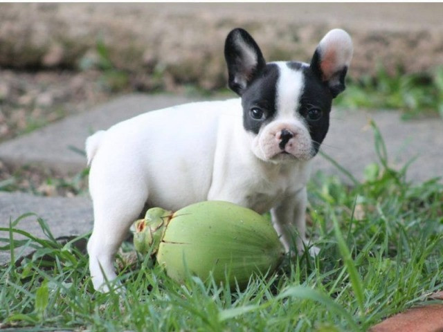 Bulldog Francês a Pronta Entrega - Foto 3