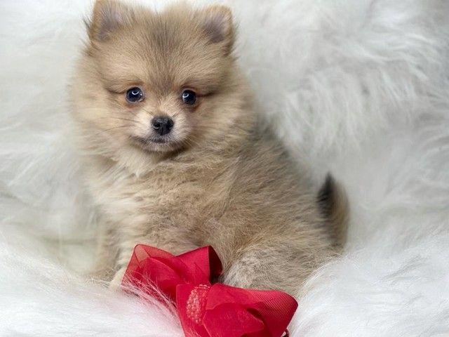 Belissima filhote Spitz alemão linda disponível  - Foto 2