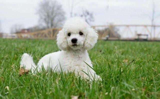 Quero compra um poodle
