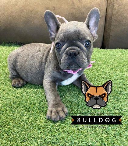 Bulldog frances femea - Foto 6