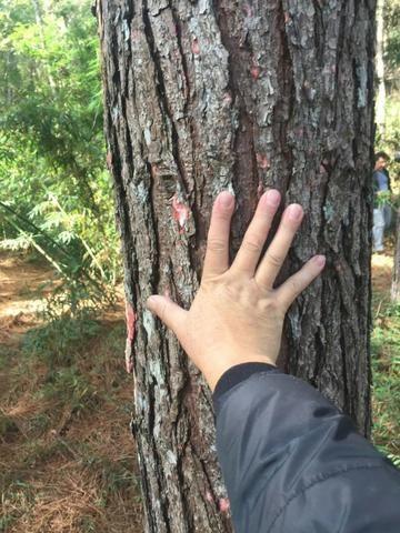 Floresta de Pinus - Foto 5