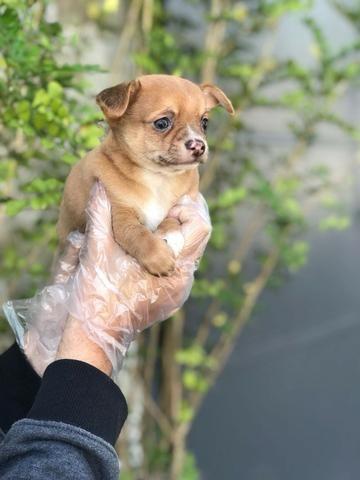 Chihuahua  - Foto 3