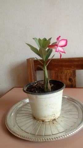 Flor do deserto - Foto 2