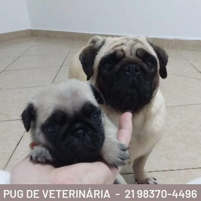 Pug - Filhotes de Veterinária - Foto 5