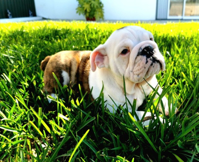 Bulldog inglês pirata/tigrado/fulvo/branco - Foto 4