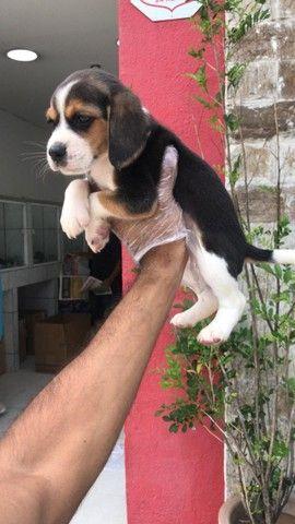 beagle...adquira seu filhote com garantias de vida e saúde !! - Foto 5