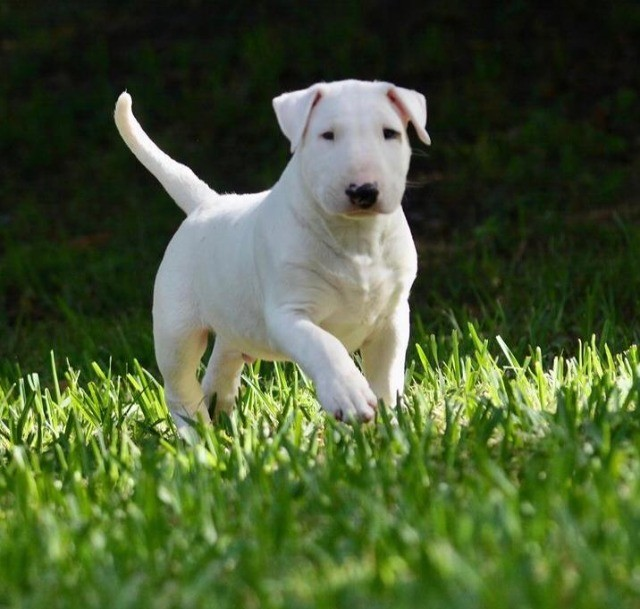Filhotes de Bull Terrier - Foto 3