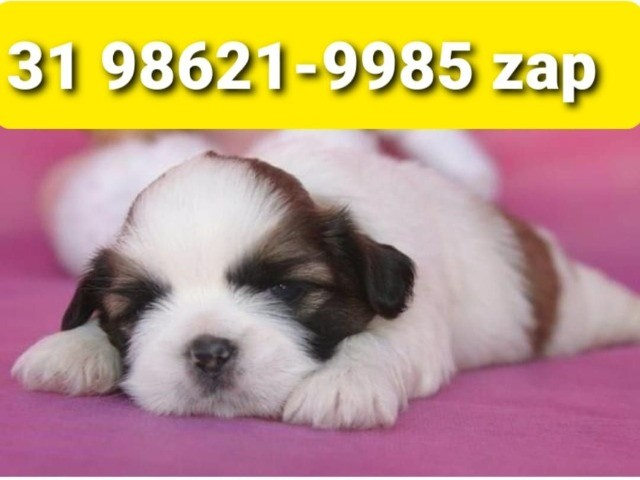 Filhotes Cães Alto Padrão BH Shihtzu Poodle Basset Lhasa Maltês Yorkshire