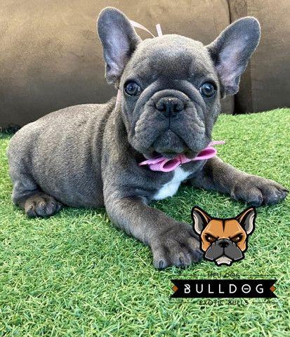 Bulldog frances femea - Foto 3
