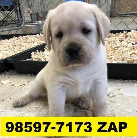 Canil Excelentes Filhotes Cães BH Labrador Boxer Pastor Golden Labrador Akita