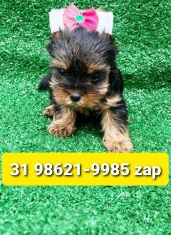Filhotes Cães Premium BH Yorkshire Maltês Basset Shihtzu Lhasa