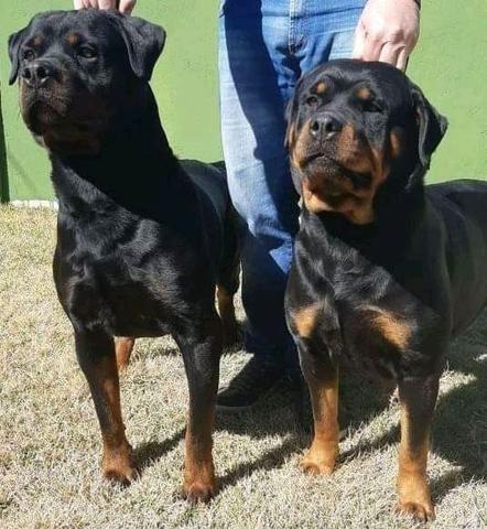 Filhotes de Rottweiler alto padrão genético com pedigree CBKC - Foto 3