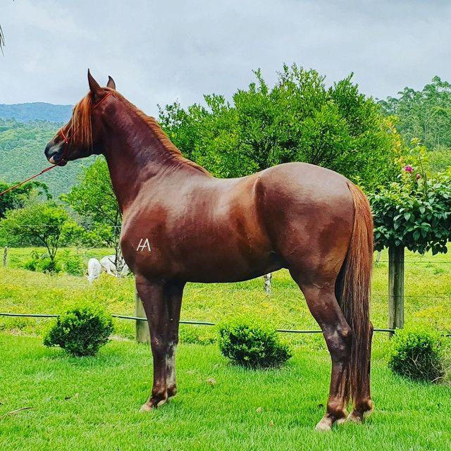 Vendo Cavalo Castrado de Marcha Picada Registrado  - Foto 2