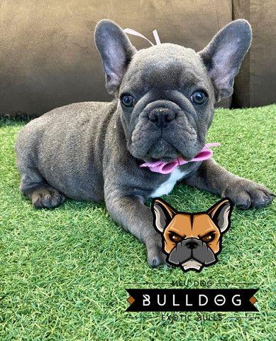 Bulldog frances femea