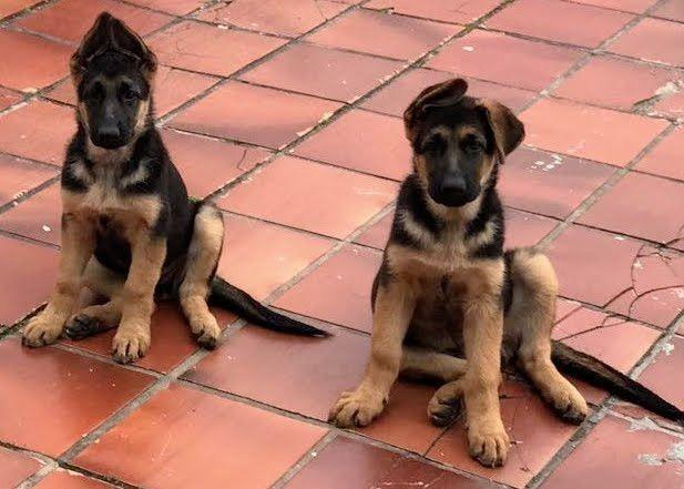 Pastor Alemão Venha adquirir seu pet conosco filhotes de Pastor alemão