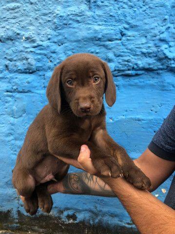Labrador Machos R$1.100,00 - Foto 2
