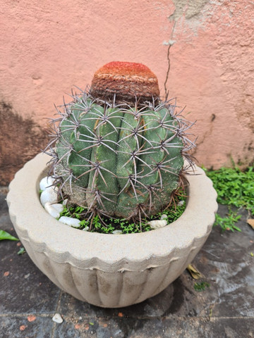 Planta cacto