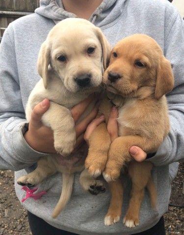 Labrador chocolate/amarelo/preto, machos e fêmeas com garantias e suportes exclusivos! - Foto 4