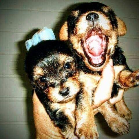 Pronta Entrega de Yorkshire Terrier Fêmea - Foto 3