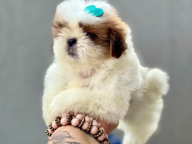 Excelente filhote de Shih Tzu com Pedigree disponível para entrega