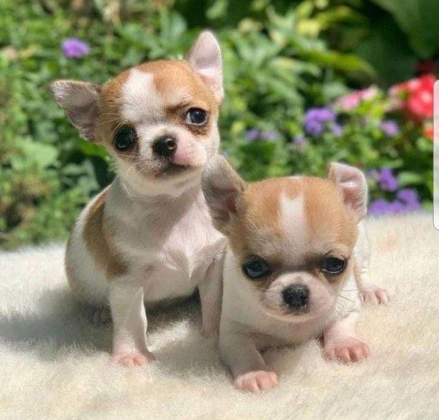 Chihuahua lindos filhotes a venda com excelente linhagem só chamar no Whatsapp