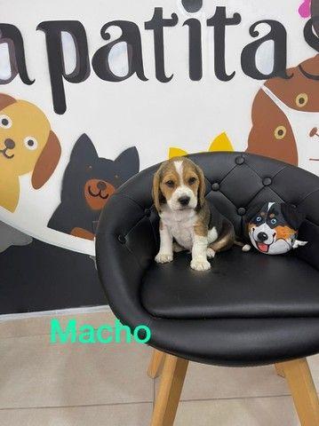 Beagle - disponivel  - Foto 3
