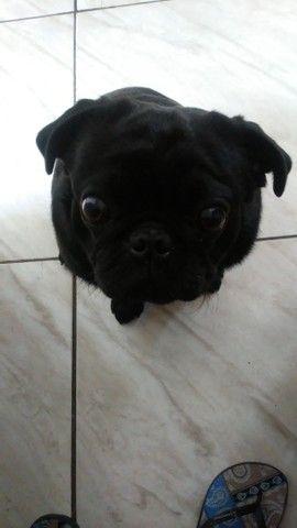 Pug pra cruza - Foto 4