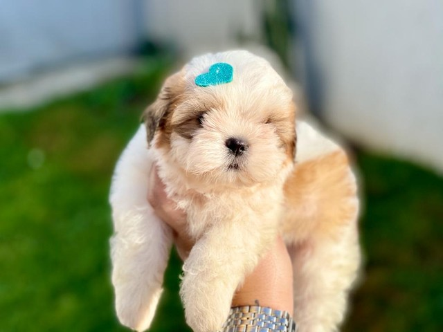 Fofíssimo baby de shih tzu disponível  - Foto 3