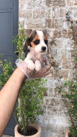 Beagle, compre com a maior rede de são paulo!!! - Foto 5