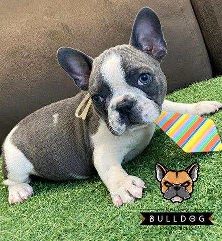 Bulldog frances cinza macho - Foto 4