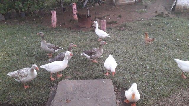 Vendo gansos  - Foto 4