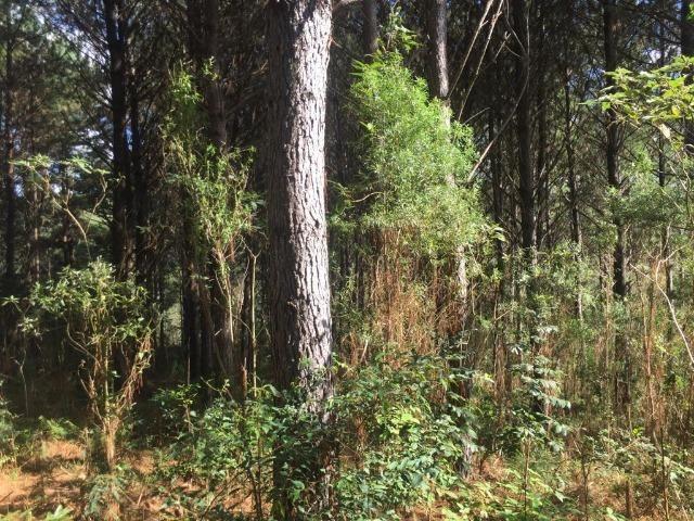 Floresta de Pinus - Foto 6