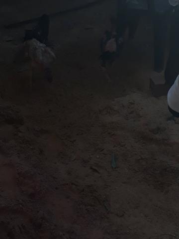 Vendo galos de raça 60 reais - Foto 4