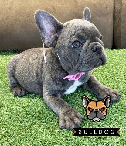 Bulldog frances femea - Foto 4